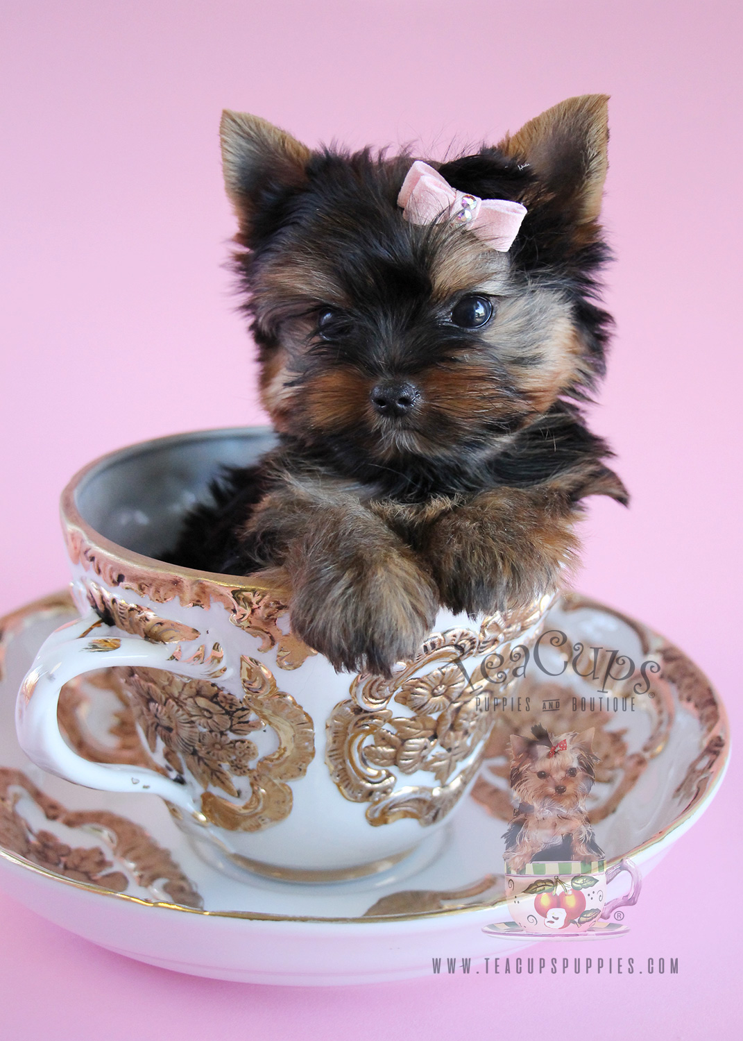Delightful Little Yorkie Puppies South Florida Teacups