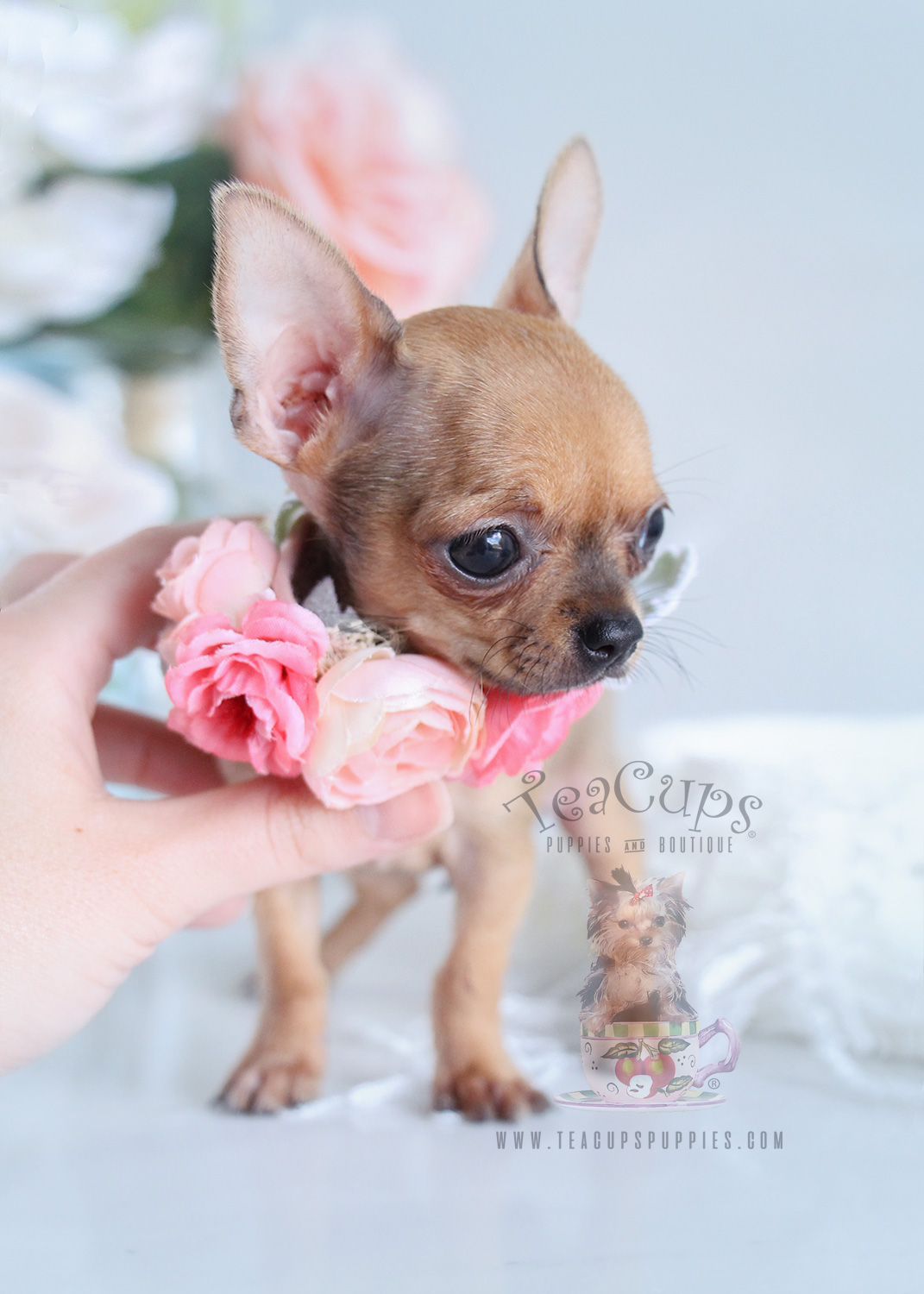 chihuahua for sale in florida fawn chihuahua puppies for sale in florida teacups 4832