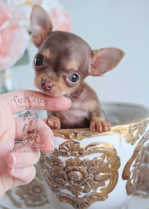 Teacup Chihuahuas For Sale Florida