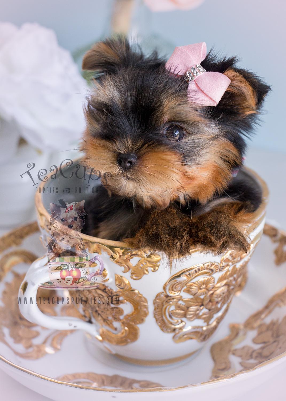 Female Yorkshire Terrier Miami