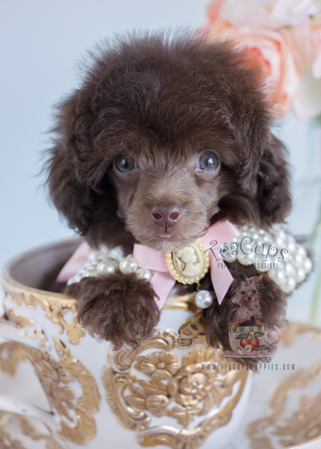 Toy Poodle Dog Collars