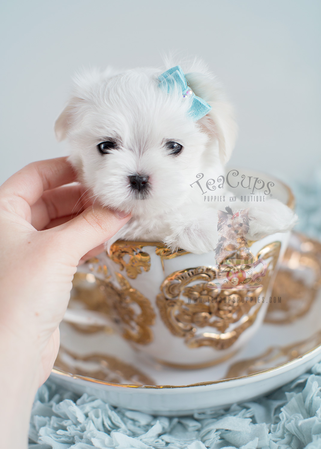 Male Maltese Puppies For Sale Florida