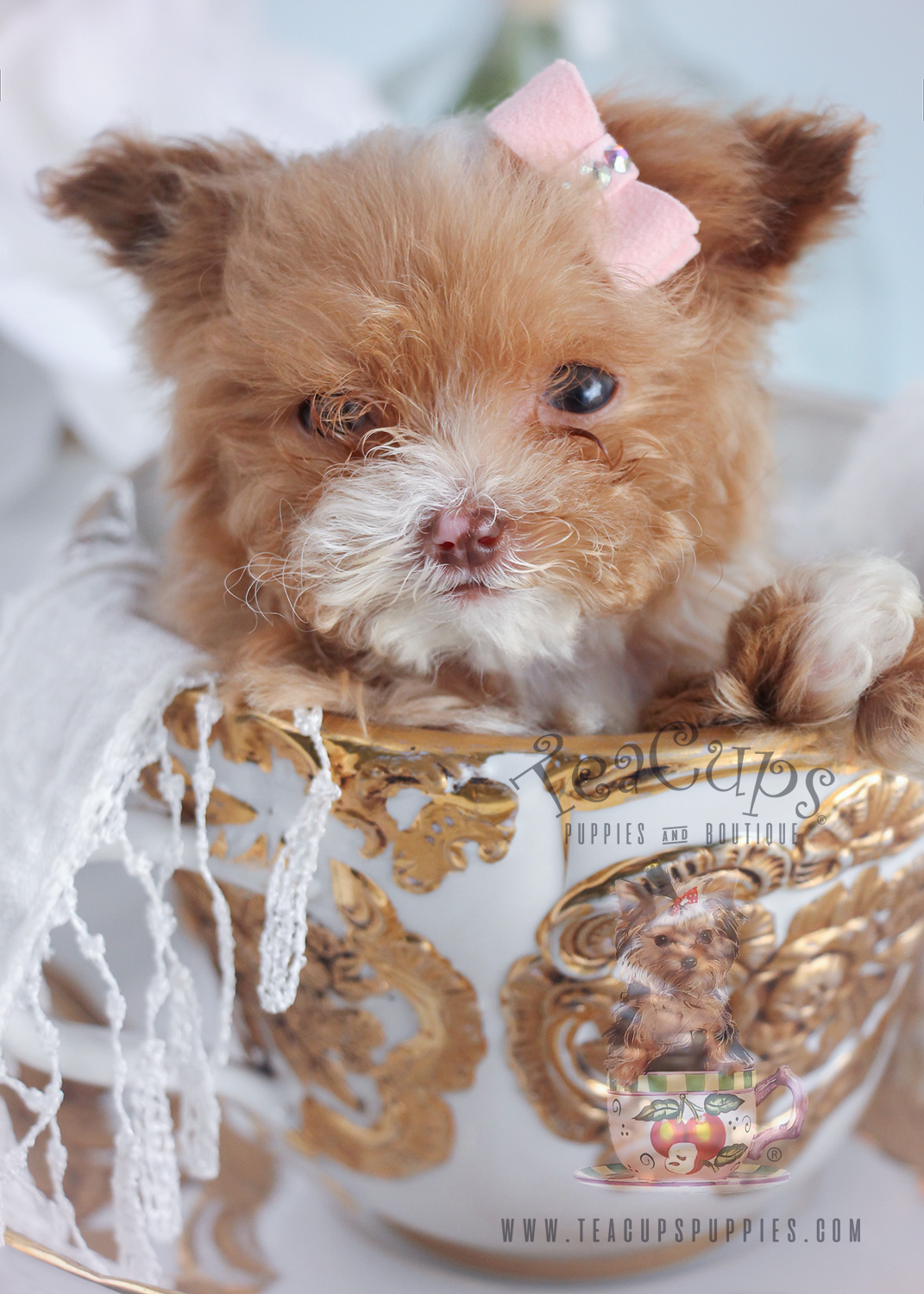 Micro Teacup Poodle Puppies Teacups Puppies Boutique