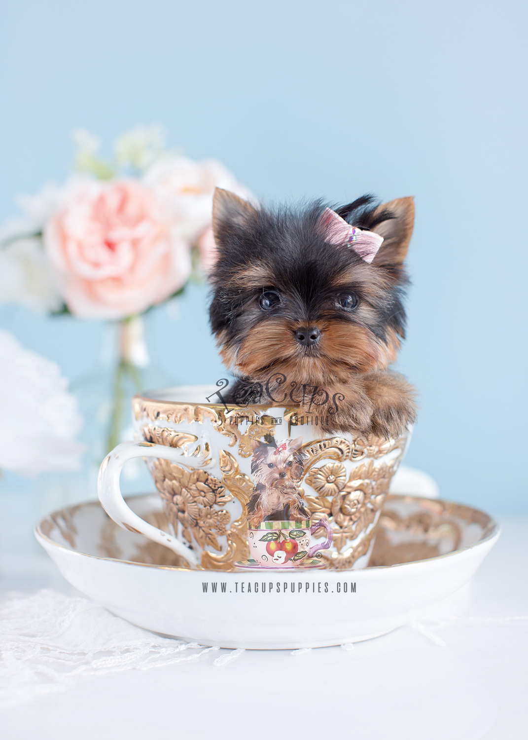 Cute Little Yorkie Puppies South Florida Teacups Puppies Boutique