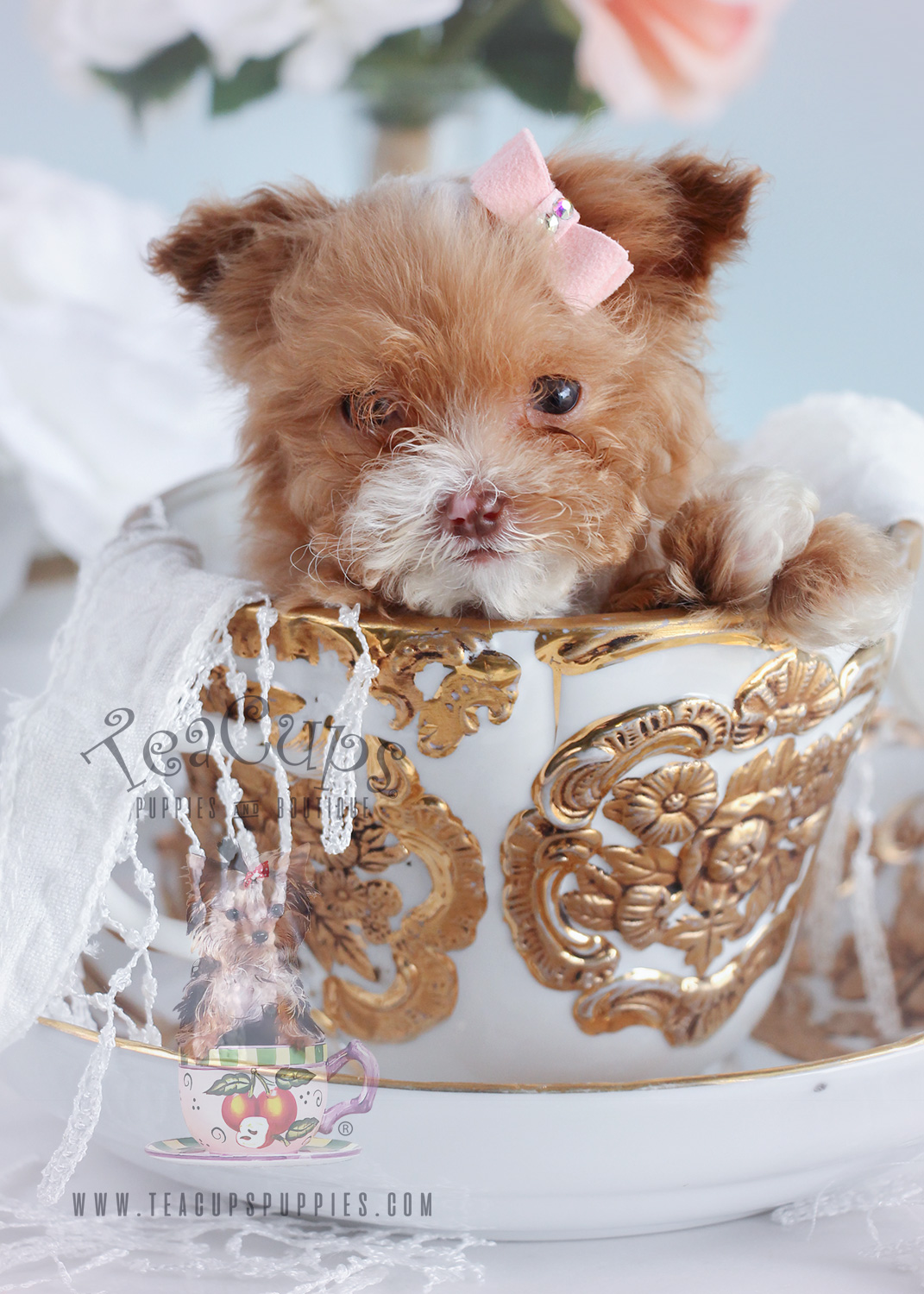 Micro Teacup Poodle Puppy For Sale#142