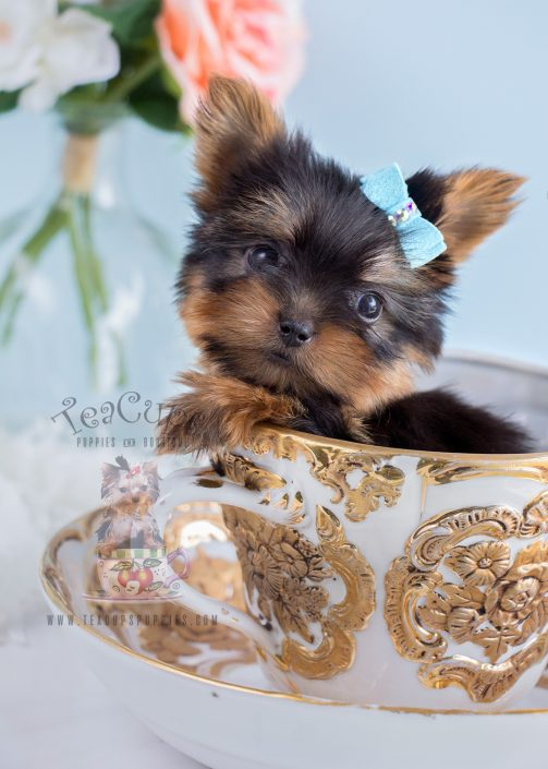 Miami Yorkshire Terriers