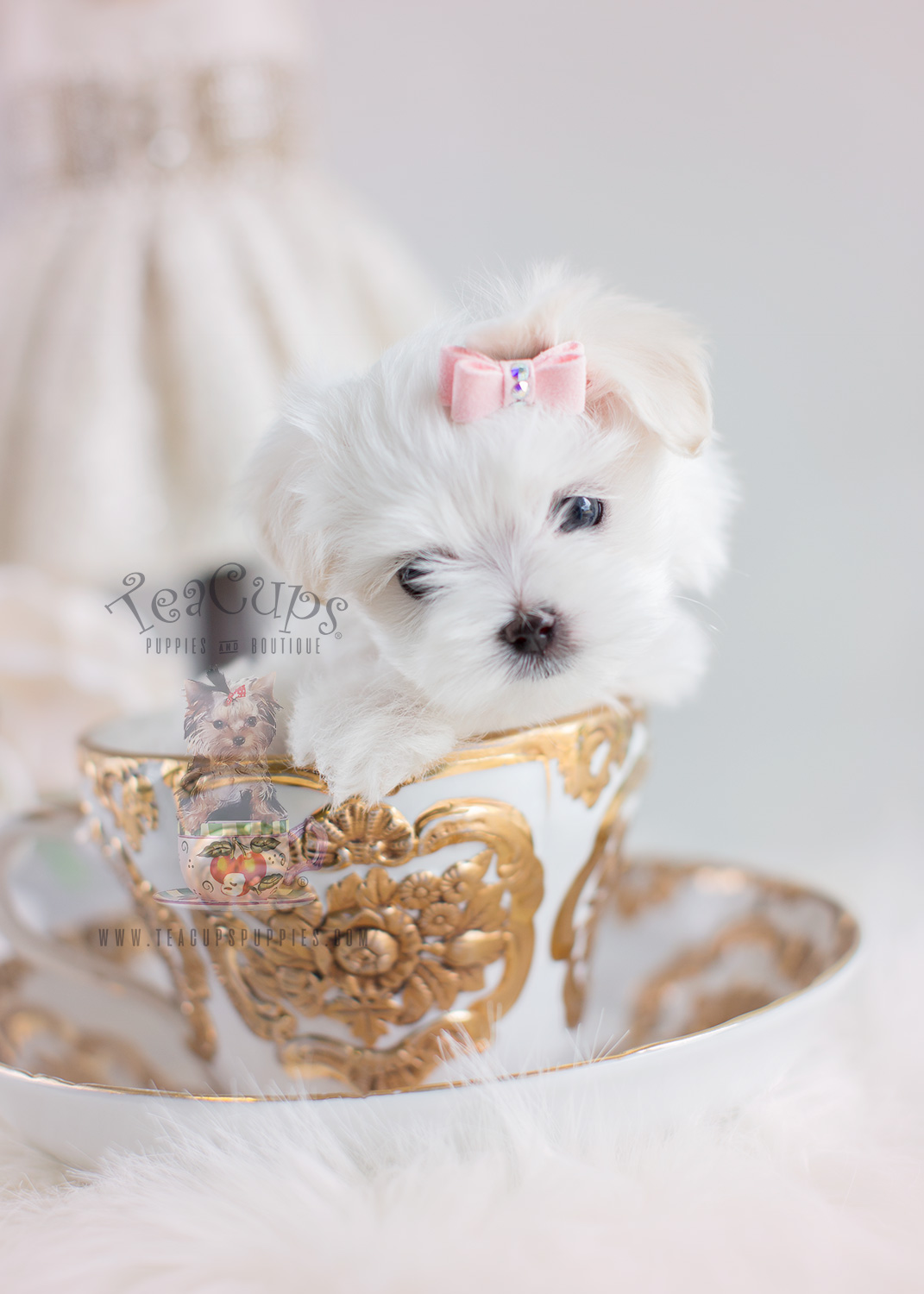 Toy Maltese Puppies In South Florida At Teacups Puppies