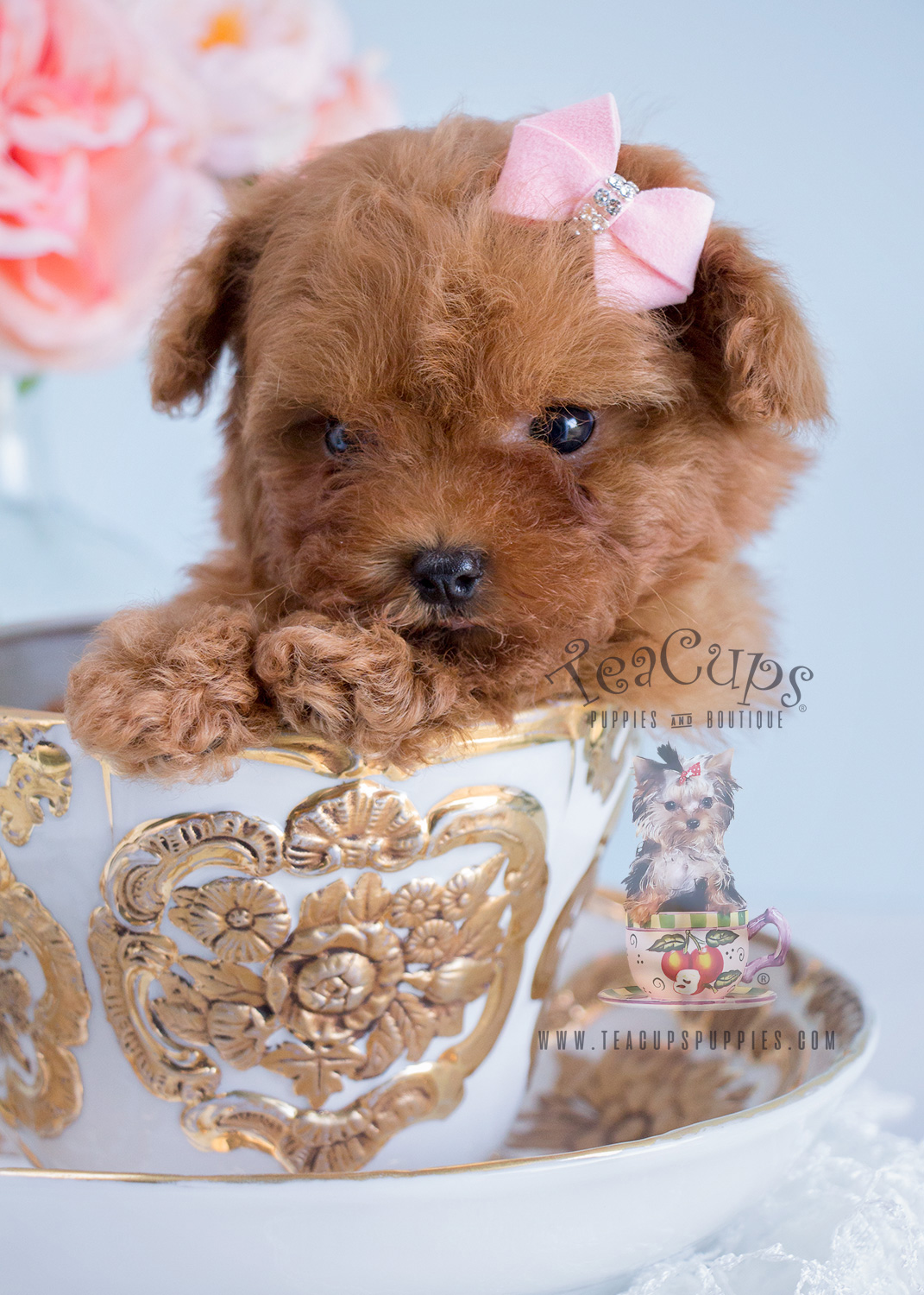 Red Female Poodle Puppy For Sale