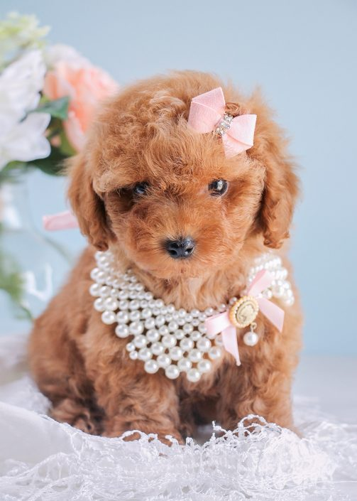 Red Poodle Puppies For Sale in Davie