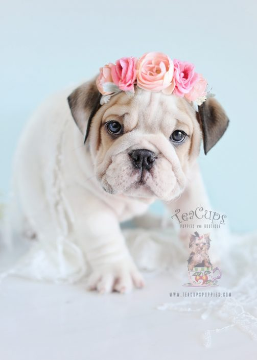 English Bulldog Puppies For Sale By Teacups Puppies Boutique