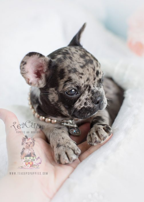Merle French Bulldog Puppy For Sale #167