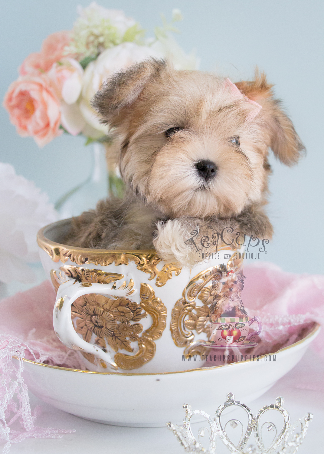 Morkie Puppy #177 for Sale Teacups Puppies