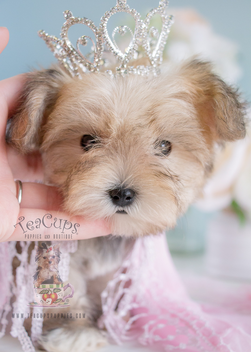 Designer breed puppy morkies for sale
