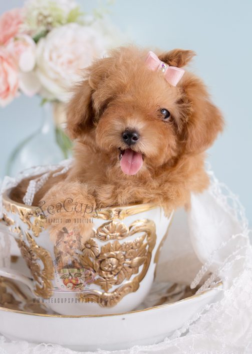 Tiny Toy Poodle puppy by TeaCup Puppies