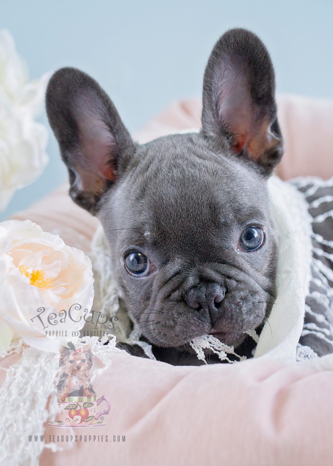 Blue Female Frenchie Puppies For Sale In Davie Florida Teacups