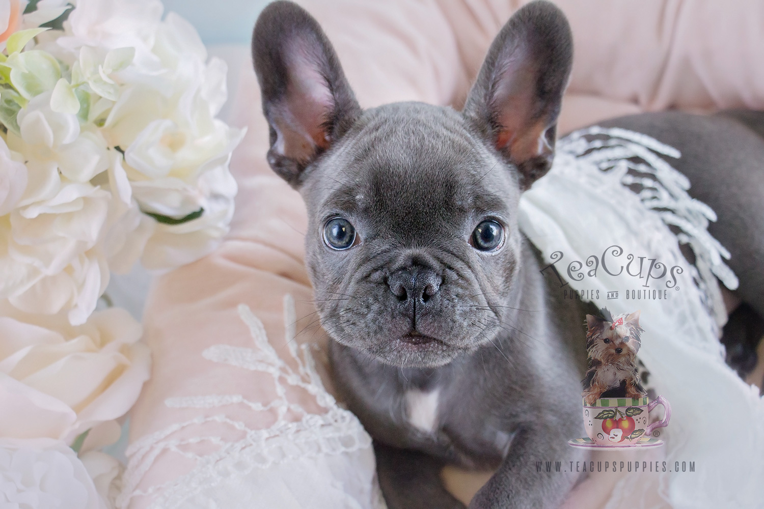 french bulldog puppies for sale in ms blue female frenchie puppies for sale in davie florida 4587