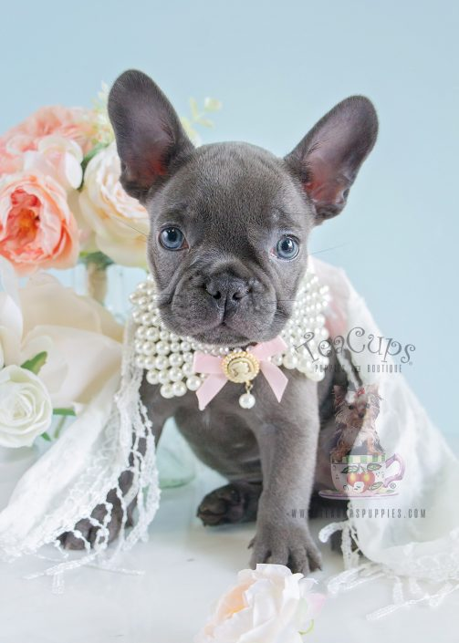Teacups Puppies French Bulldog Female For Sale