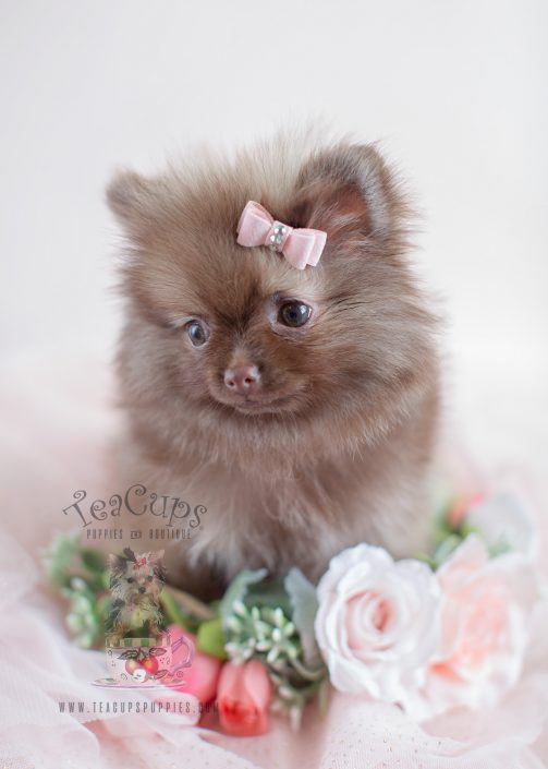 Chocolate Pomeranian Puppy ID #007 For Sale by TeaCups