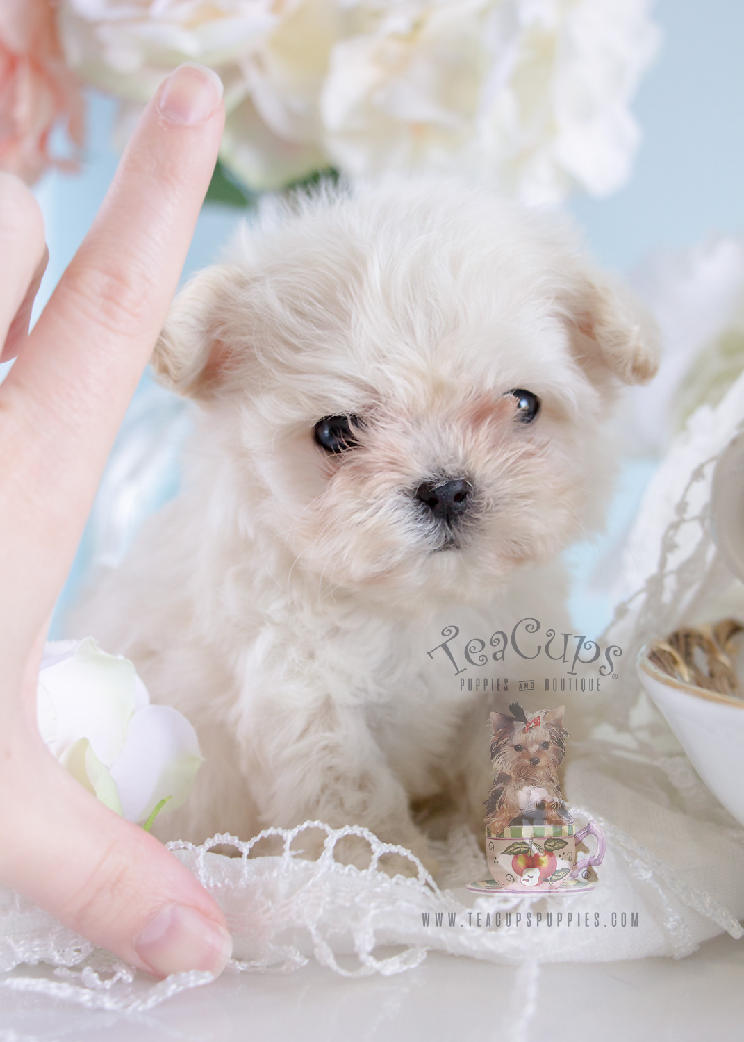 Tiny Micro Teacup Maltese puppy