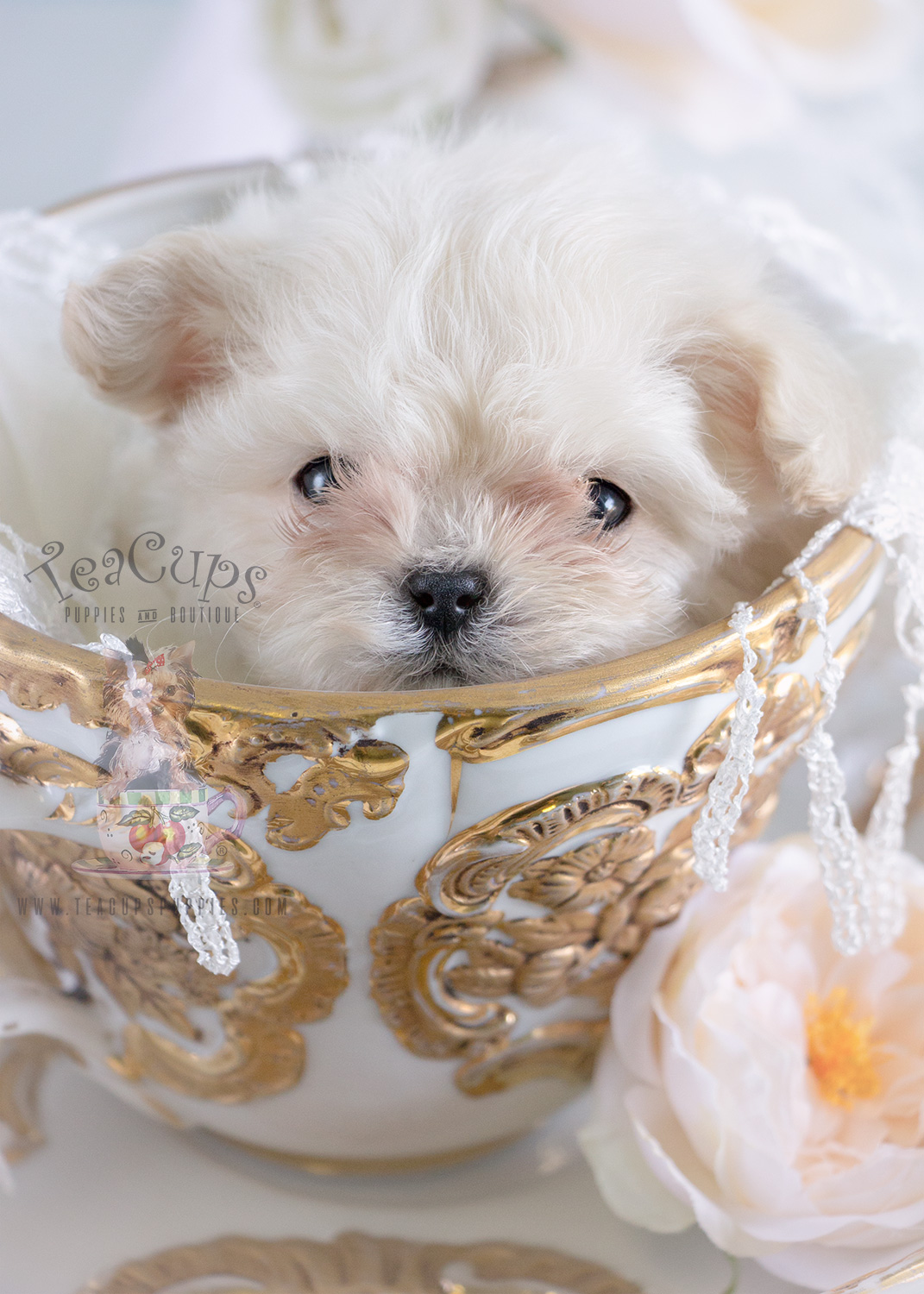 Micro Teacup Maltese Puppy For Sale #188