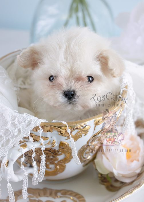Micro Teacup Maltese Puppy #188 For Sale