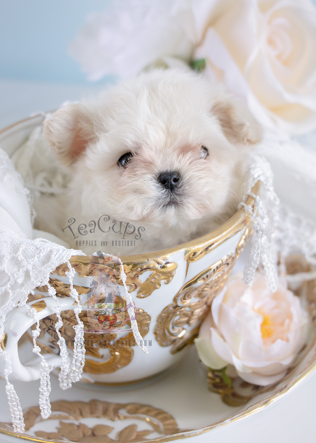 Tiny Micro Teacup Maltese Puppy for sale