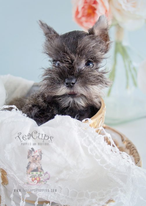 195 Mini Schnauzer Puppy by Teacups Puppies