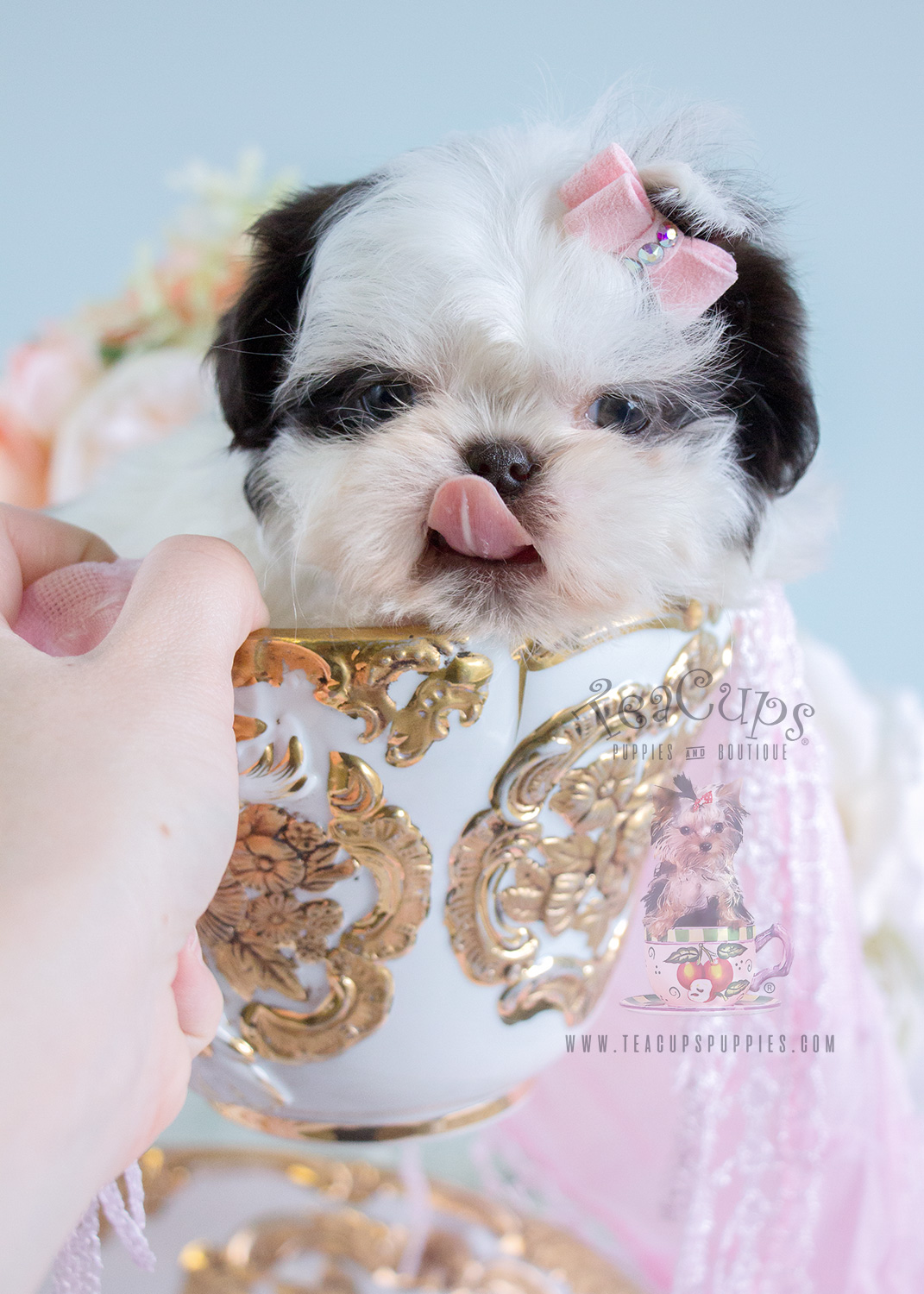 Baby Shih Tzu Puppies For Sale in Davie | Teacups, Puppies & Boutique