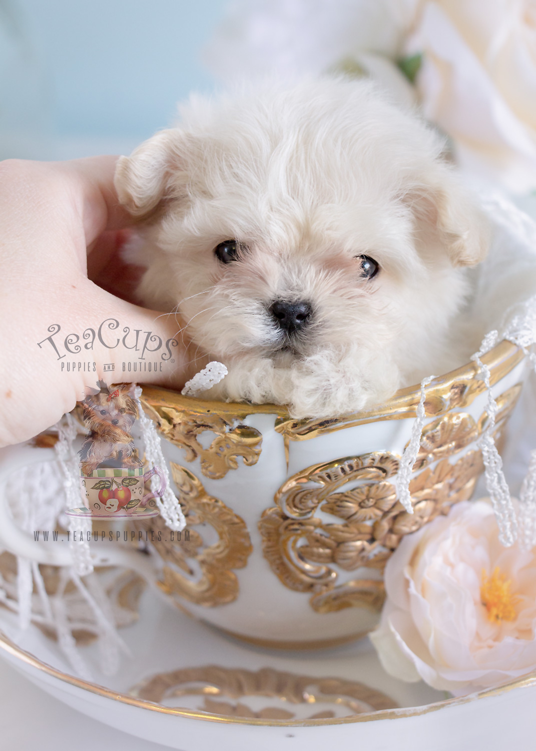 Teacup Maltese #188 For Sale Micro Teacup Puppy