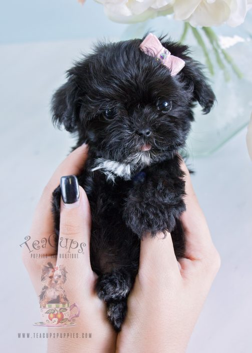 #189 Teacup Maltipoo Puppy For Sale