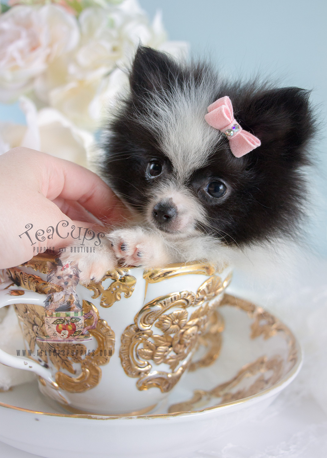 Adorable Pomeranian Puppy #184 For Sale