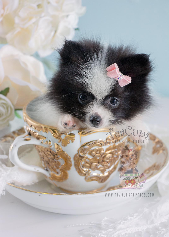 Sweet Pomeranian Puppy #184 For Sale