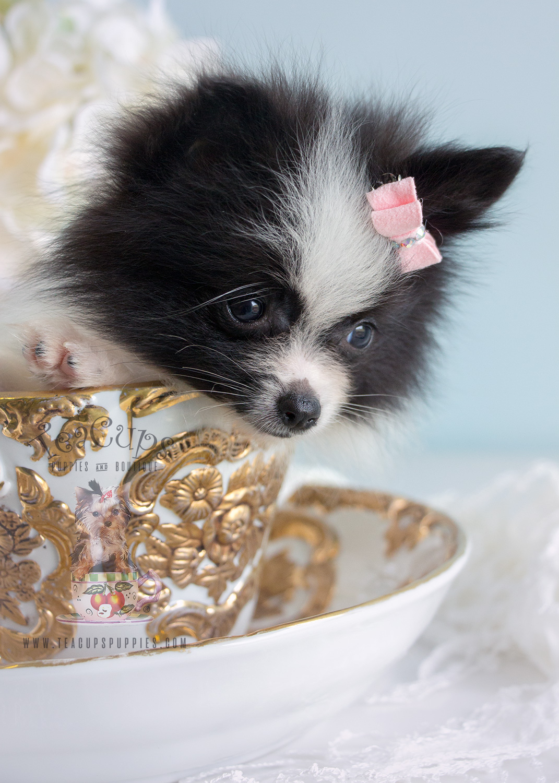 Tiny Pomeranian Puppy #184 For Sale