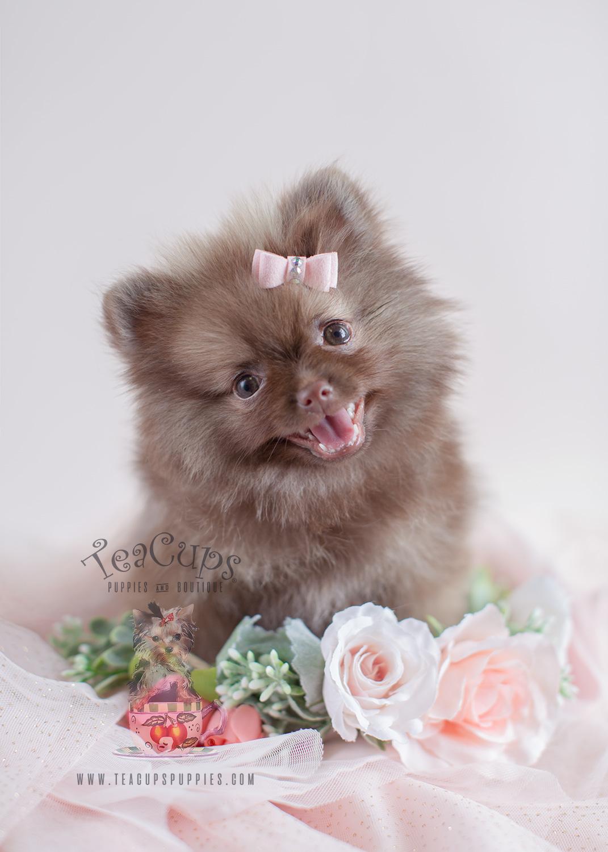 Teacup Pomeranians and Toy Pomeranian Puppies