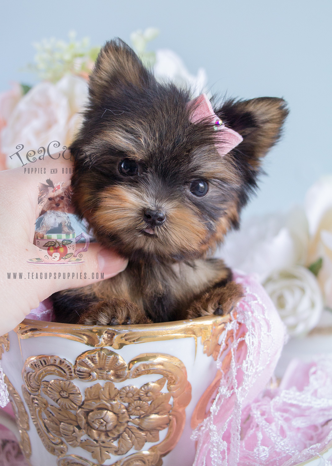 toy yorkie puppies tiniest teacup yorkie puppy for sale teacups puppies 2612
