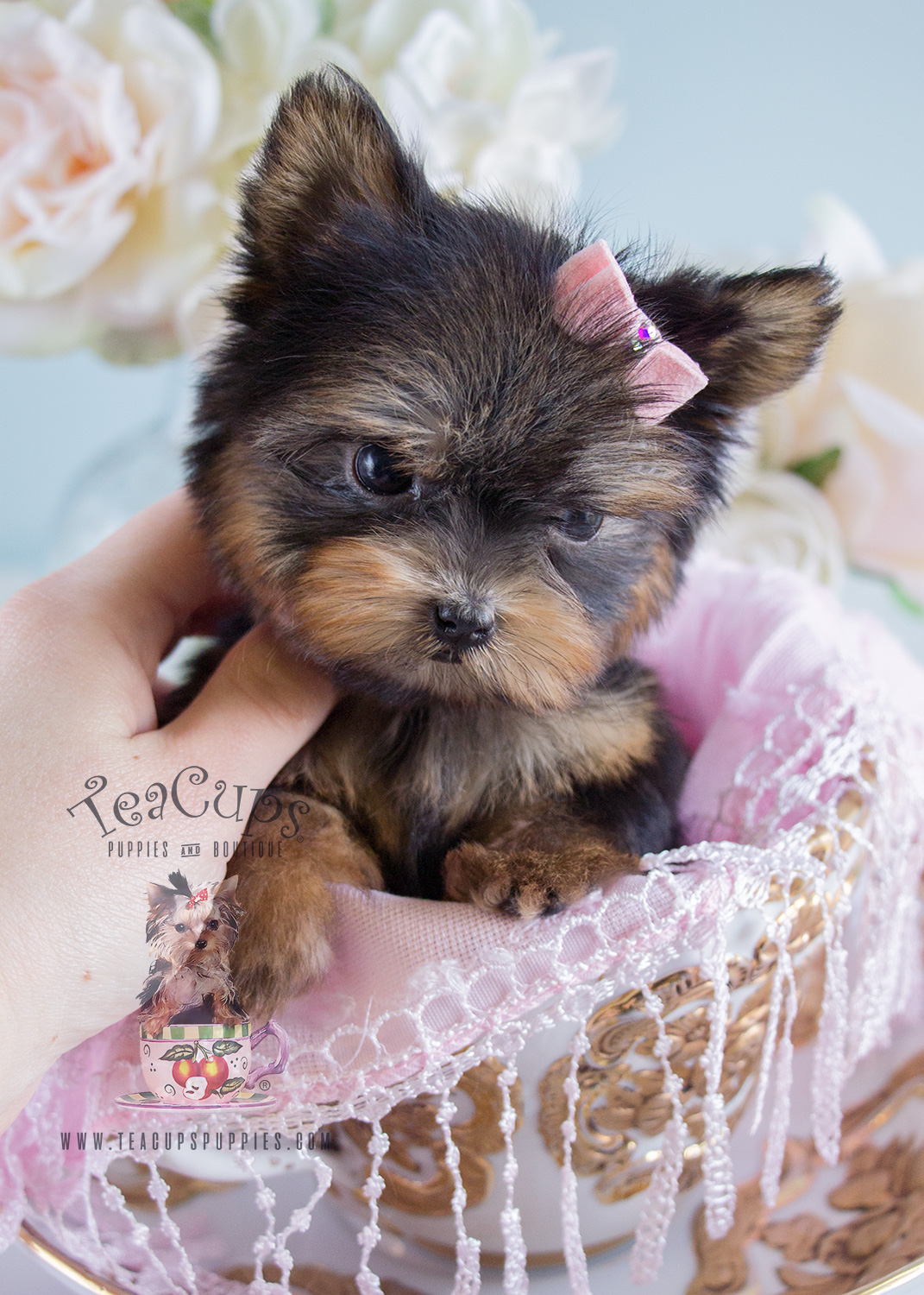 Tiniest Teacup Yorkie Puppy For Sale Teacups Puppies