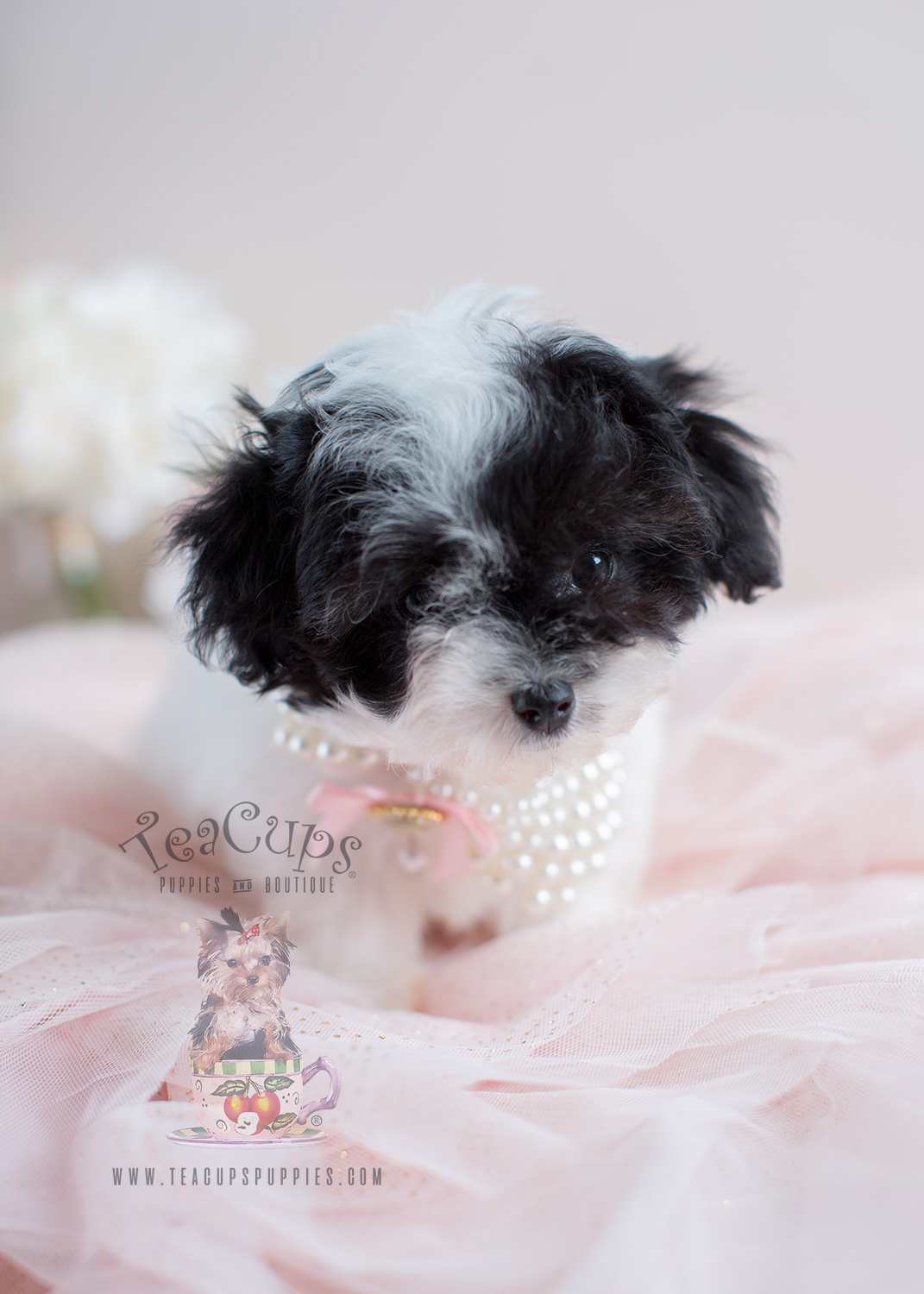 Toy Poodles For Sale by Teacup Puppies South Florida