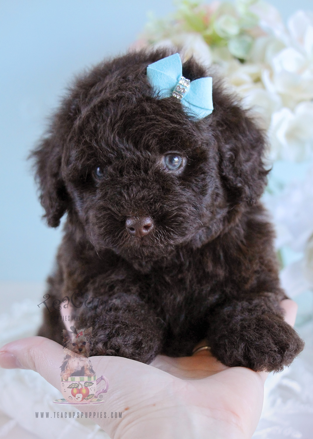 Toy Poodle Puppy 208 For Sale