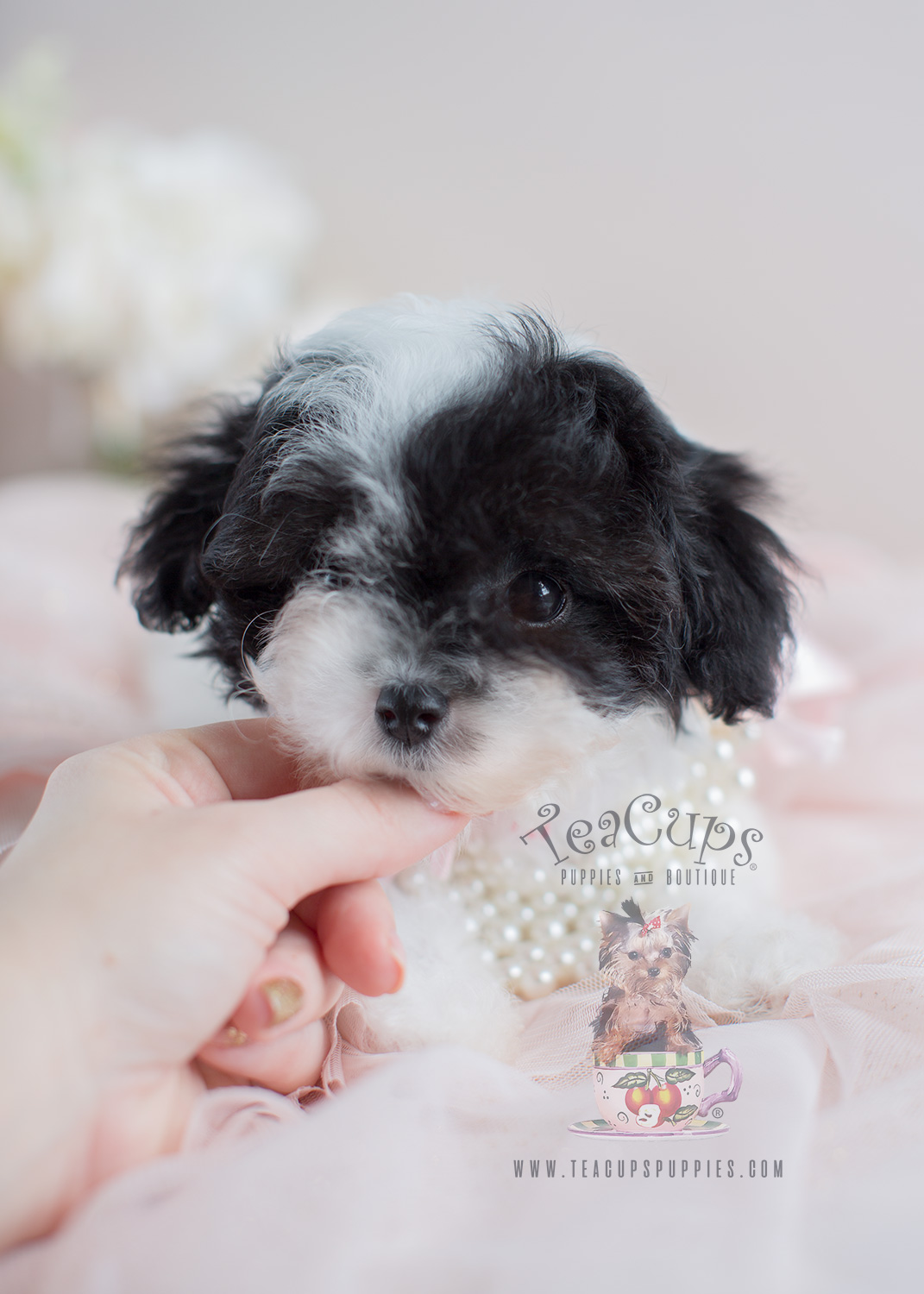 Teacup Poodles and Toy Poodle Puppies For Sale