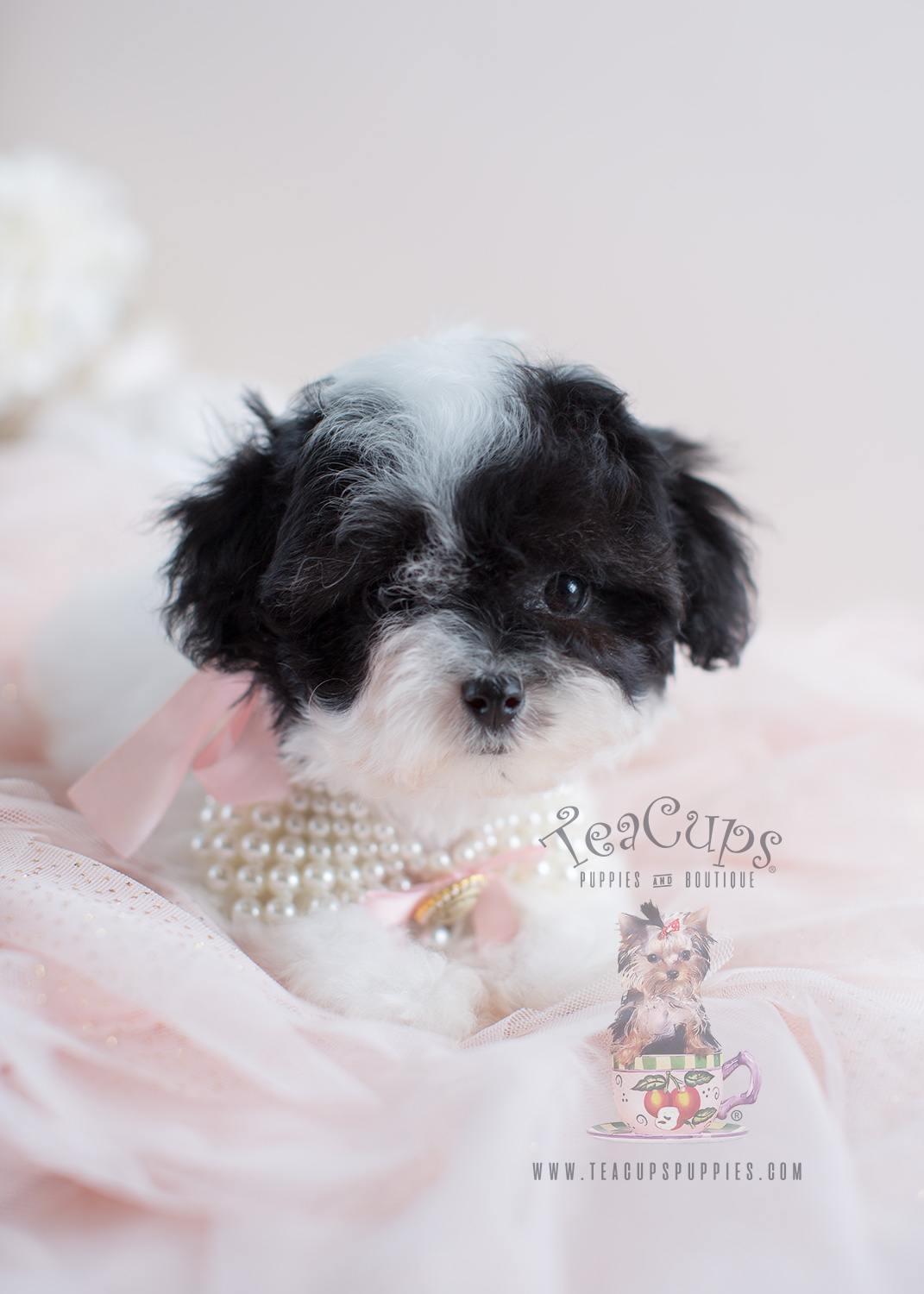 Adorable Toy Poodle Puppy For Sale