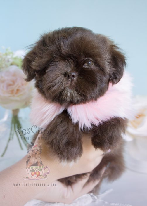 Chocolate Shih Tzu For Sale 218