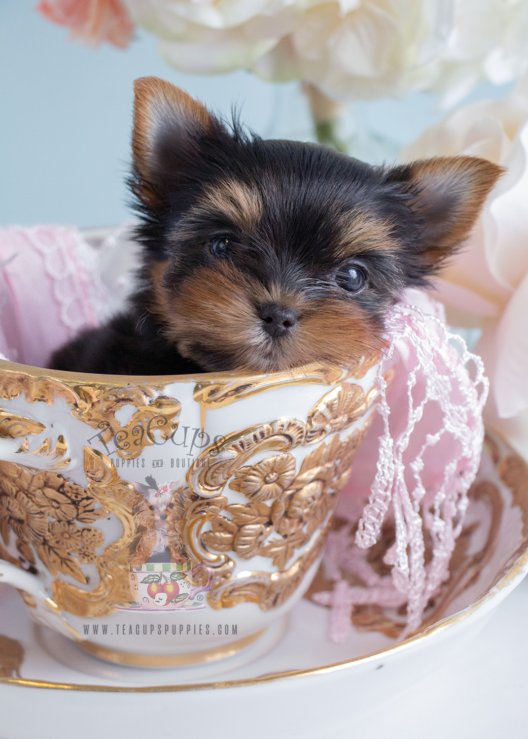 Adorable Teacup Yorkie Puppies In South Florida At Teacups