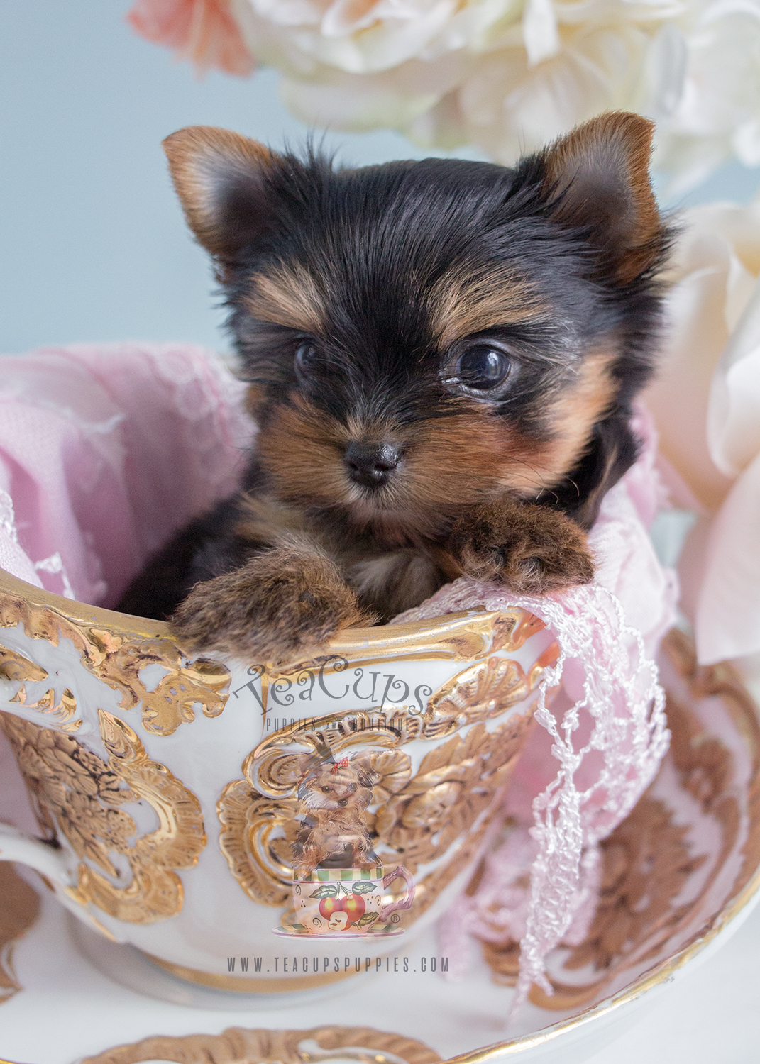 adorable teacup yorkie puppies in south florida at teacups puppies