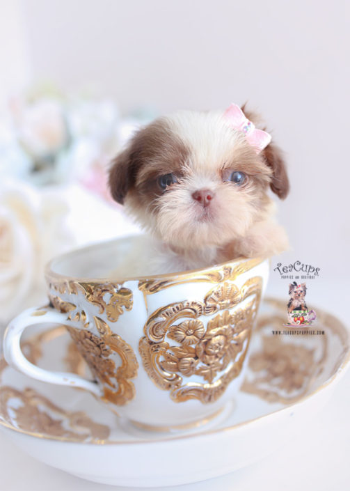 Tiny Shih Tzu Puppy Goldenacresdogs