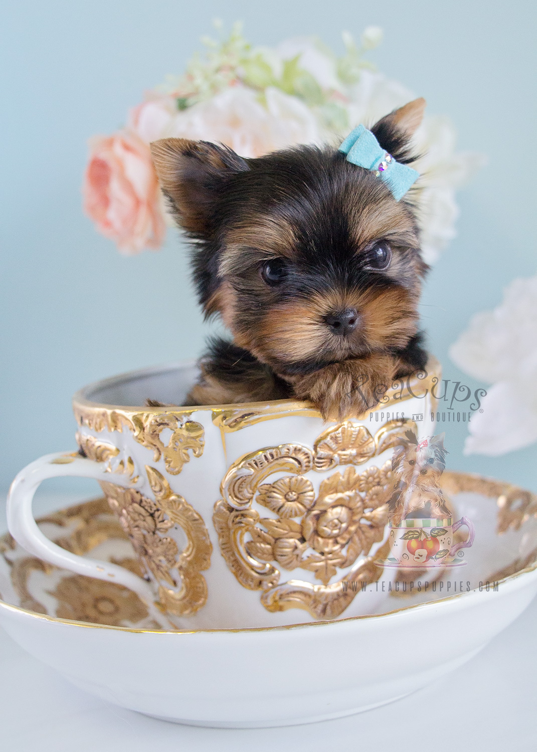 Cute Yorkie Puppy For Sale In Broward Teacups Puppies Boutique