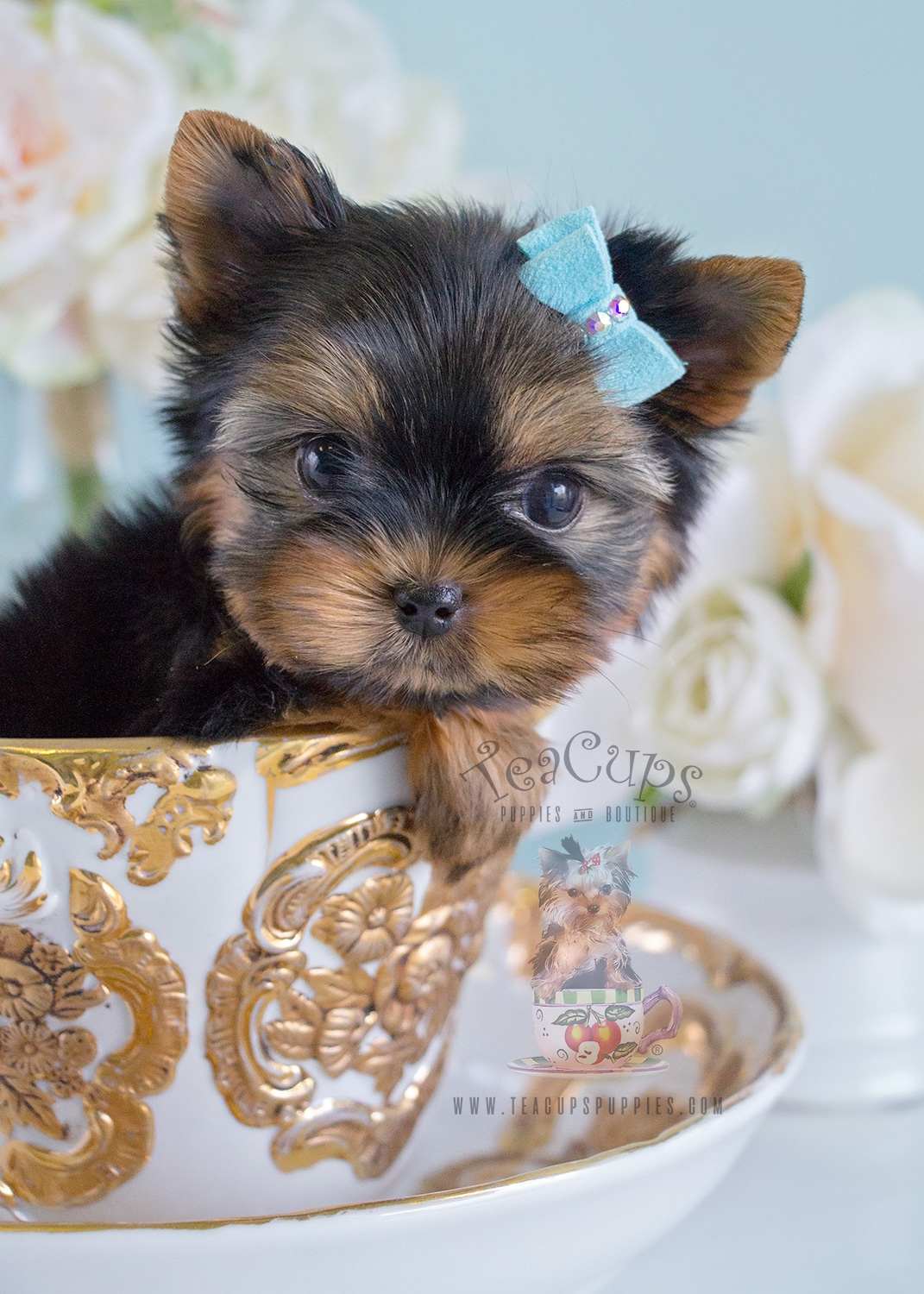 Yorkie Puppy For Sale Teacups Puppies