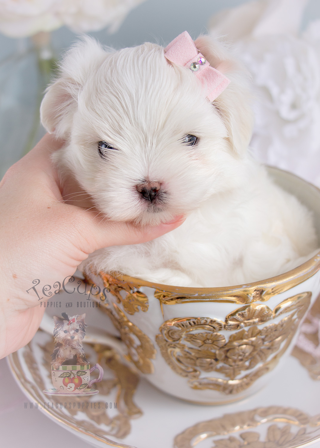 Teacup Puppies Adorable Maltese Puppy For Sale