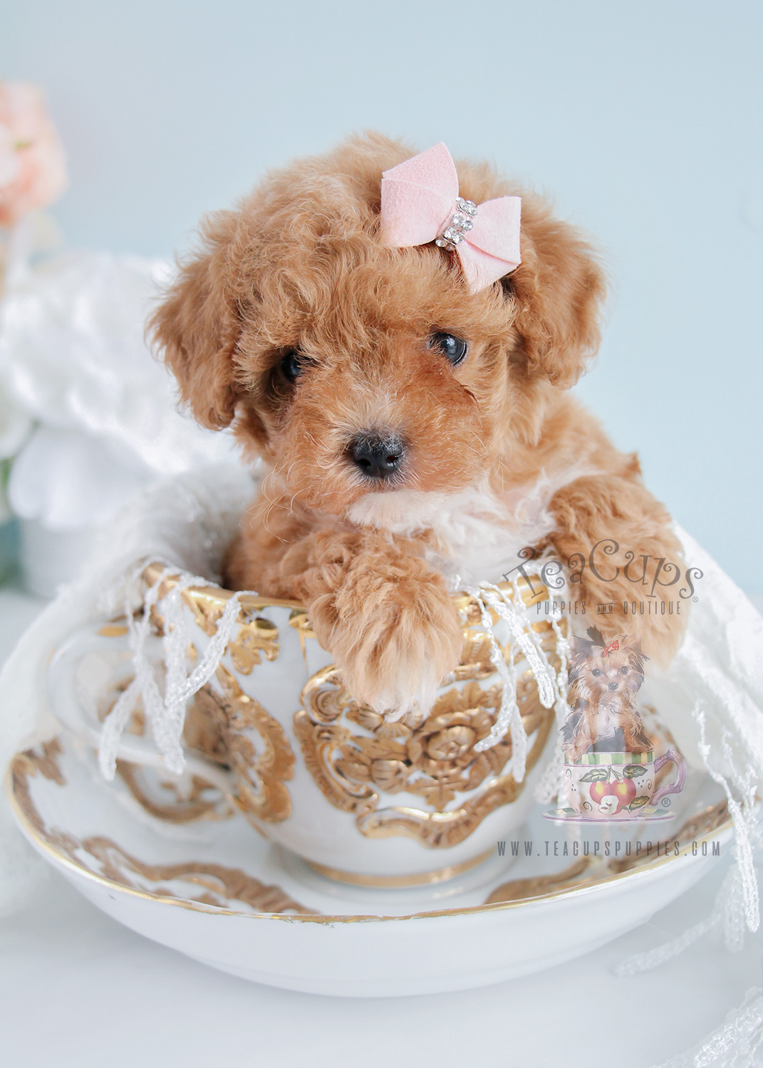 Poodle Puppies At Teacups Puppies And Boutique Teacups Puppies