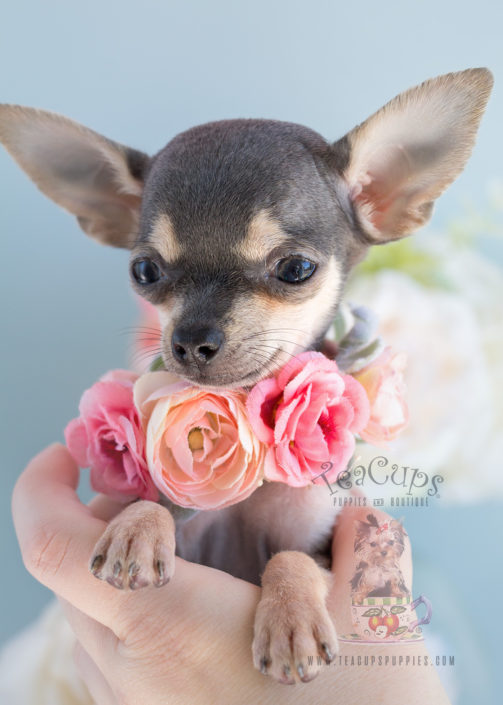 Teacup Chihuahua Puppy For Sale #280