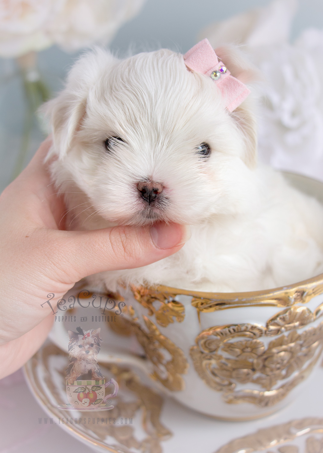 Puppy For Sale Teacup Puppies Adorable Maltese